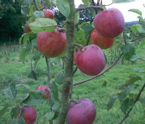 Liberty apples, Pythagoras